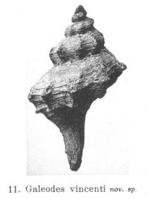 Fig.11 - Galeodes vincenti