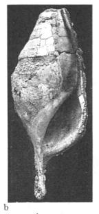 Fig.6b - Hippochrenes rutoti