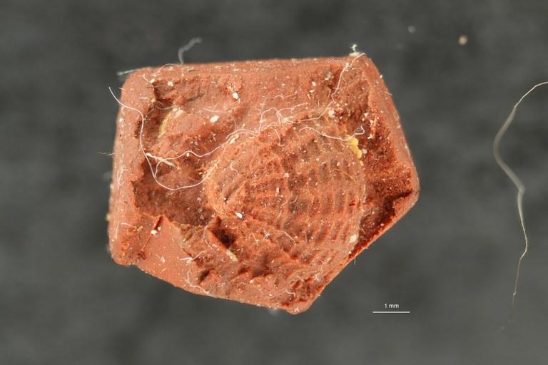 IRSNB 05146 d (Monodontella geometrica) ZS DMap