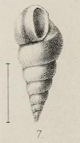 Fig.7 - Opalia laevigata (1872)