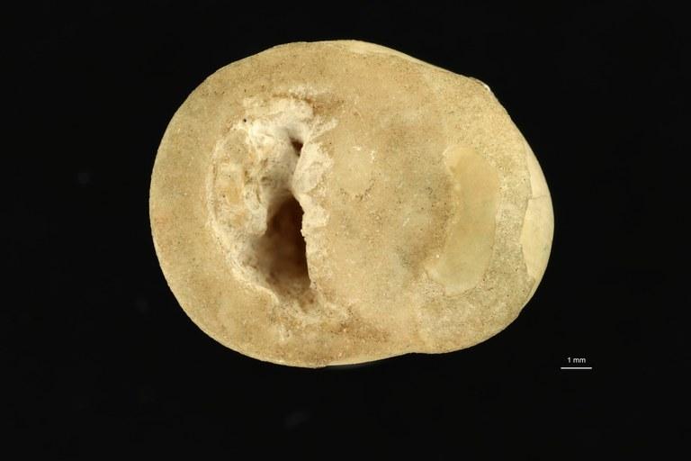 IRSNB 05148 (Otostoma pinardi) ventral ZS DMap