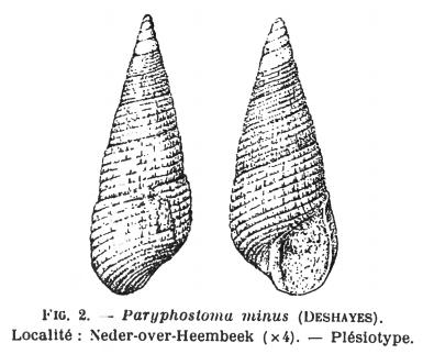 Fig.2 - Paryphostoma minus