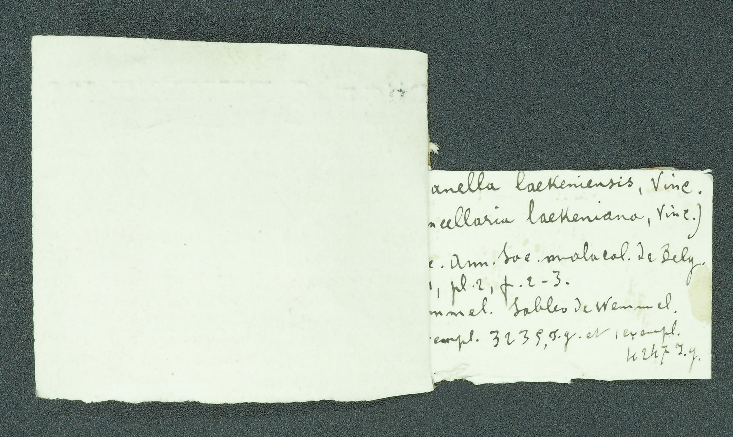 RBINS 323 - Pisanella laekeniana ht Lb2
