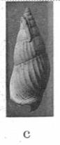 Pl. II, fig. 4c