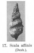 Fig.17 Scala affinis