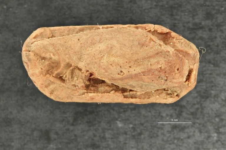 IRSNB 09743 b (Scaphella vignyensis) ZS PMax