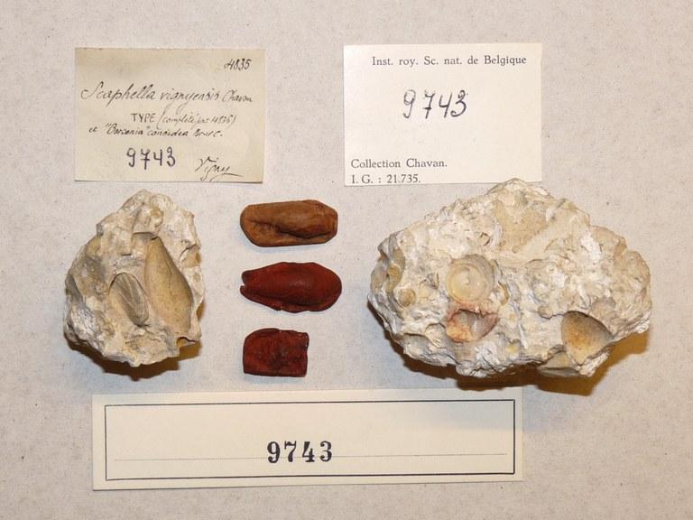IRSNB 09743 (Scaphella vignyensis) labels