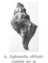 Fig. 6 - Siphonalia oblicostata
