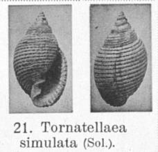 Pl. IV, fig. 21