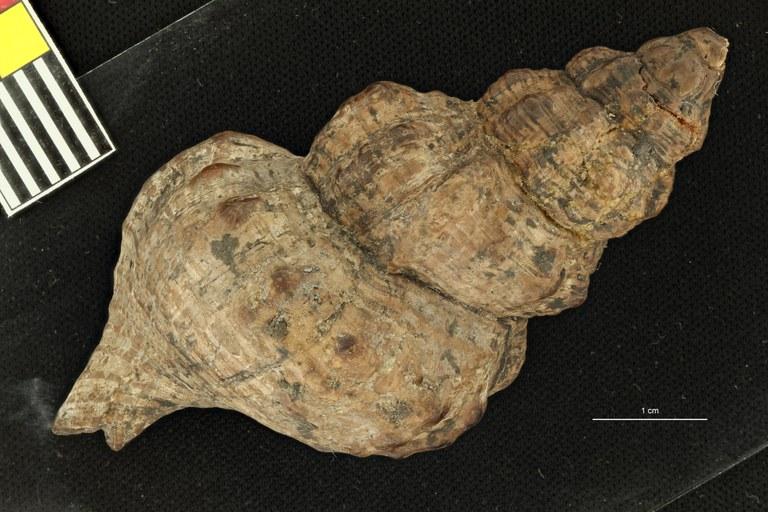 IRSNB 03869 (Triton flandricum) dorsal view