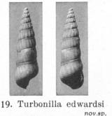 Fig.19 - Turboniella edwardsi