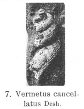 Pl. I, fig. 7