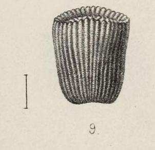 Pl. III, fig. 9