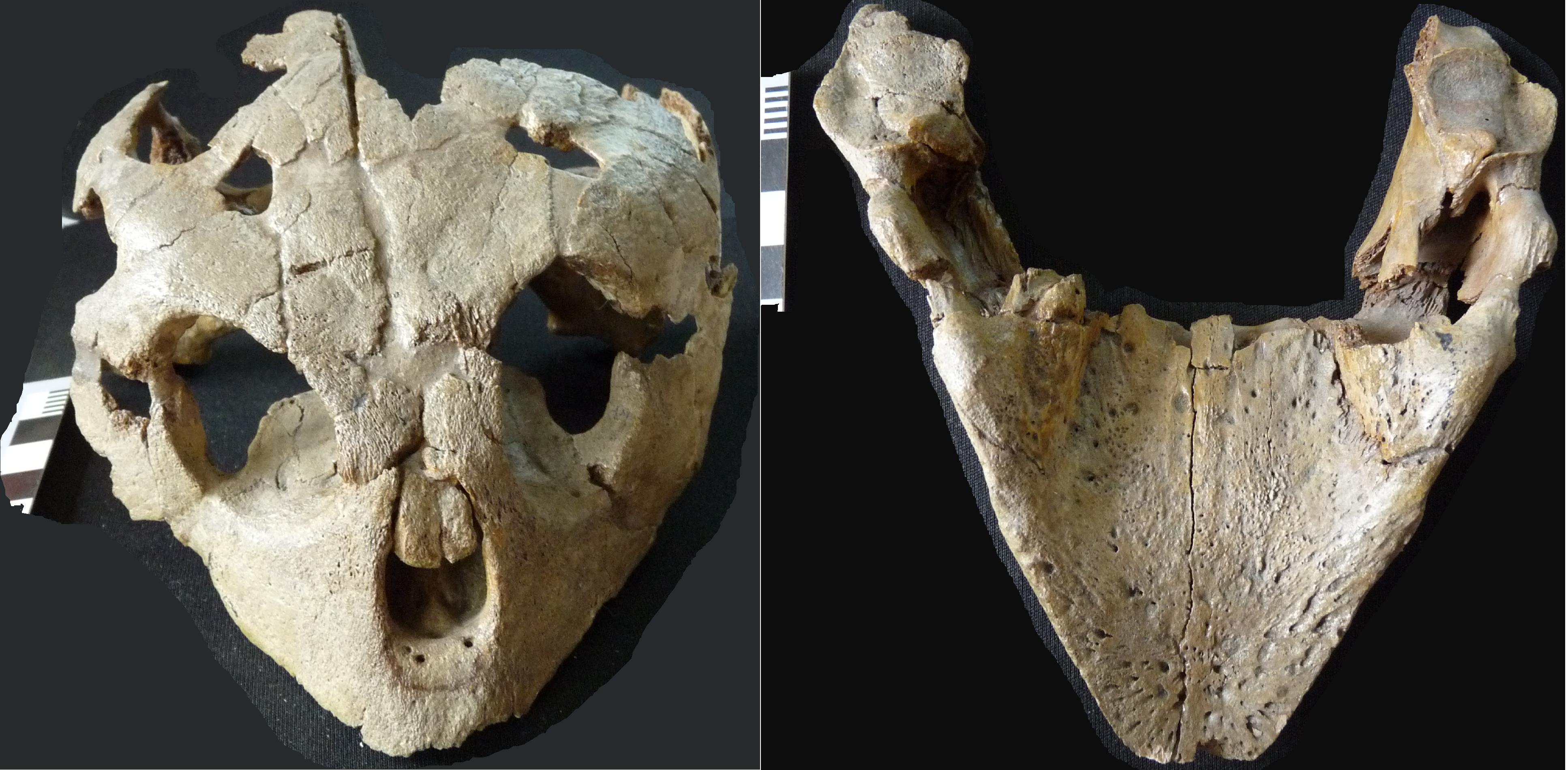 IRSNB R 0007 Skull
