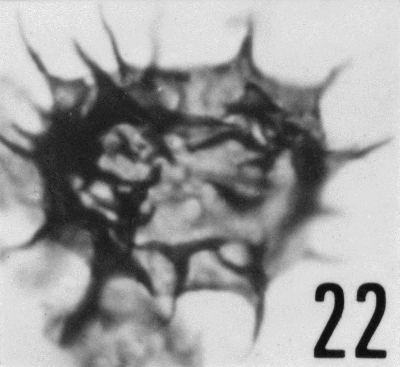 Fig. 22 - Acanthodiacrodium achrasi Martin, F., 1972. CHE-25. I. R. Se. N. B. No b503.