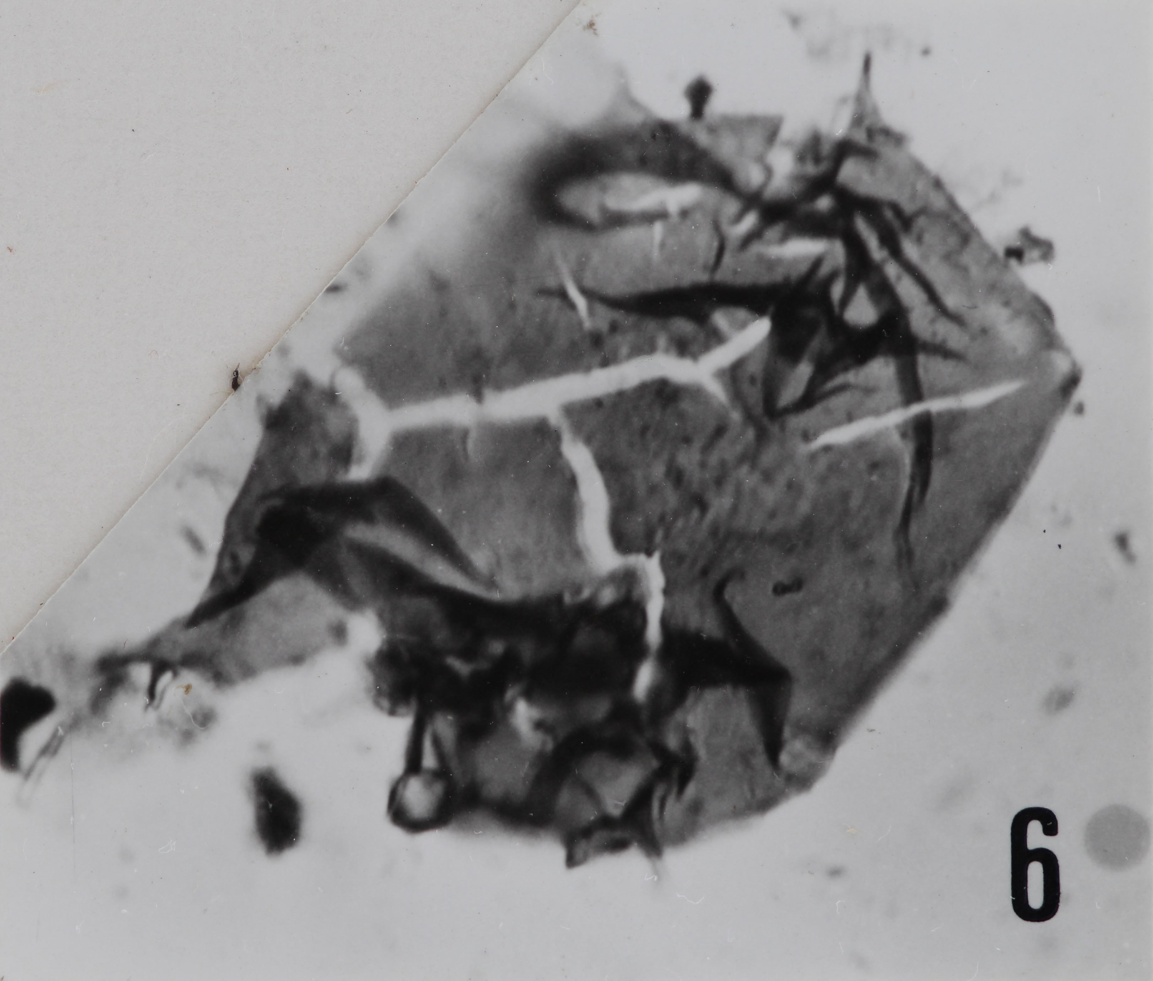 Fig. 6 - Acanthodiacrodium aff. micronatum Timofeev, B., 1959. Sainte-Cécile : STC-2. b 459.