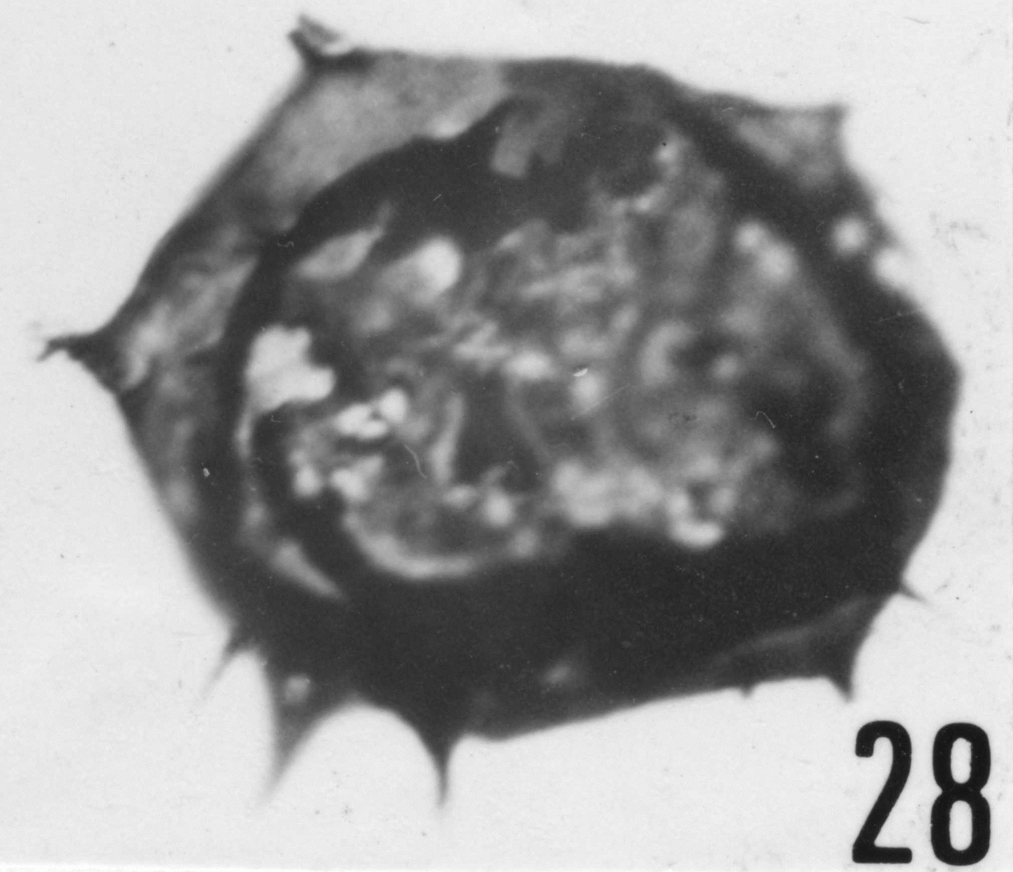 Fig. 28 - Acanthodiacrodium micronatum Timofeev, B. V., 1959. CHE-25. I. R. Se. N. B. No b506.
