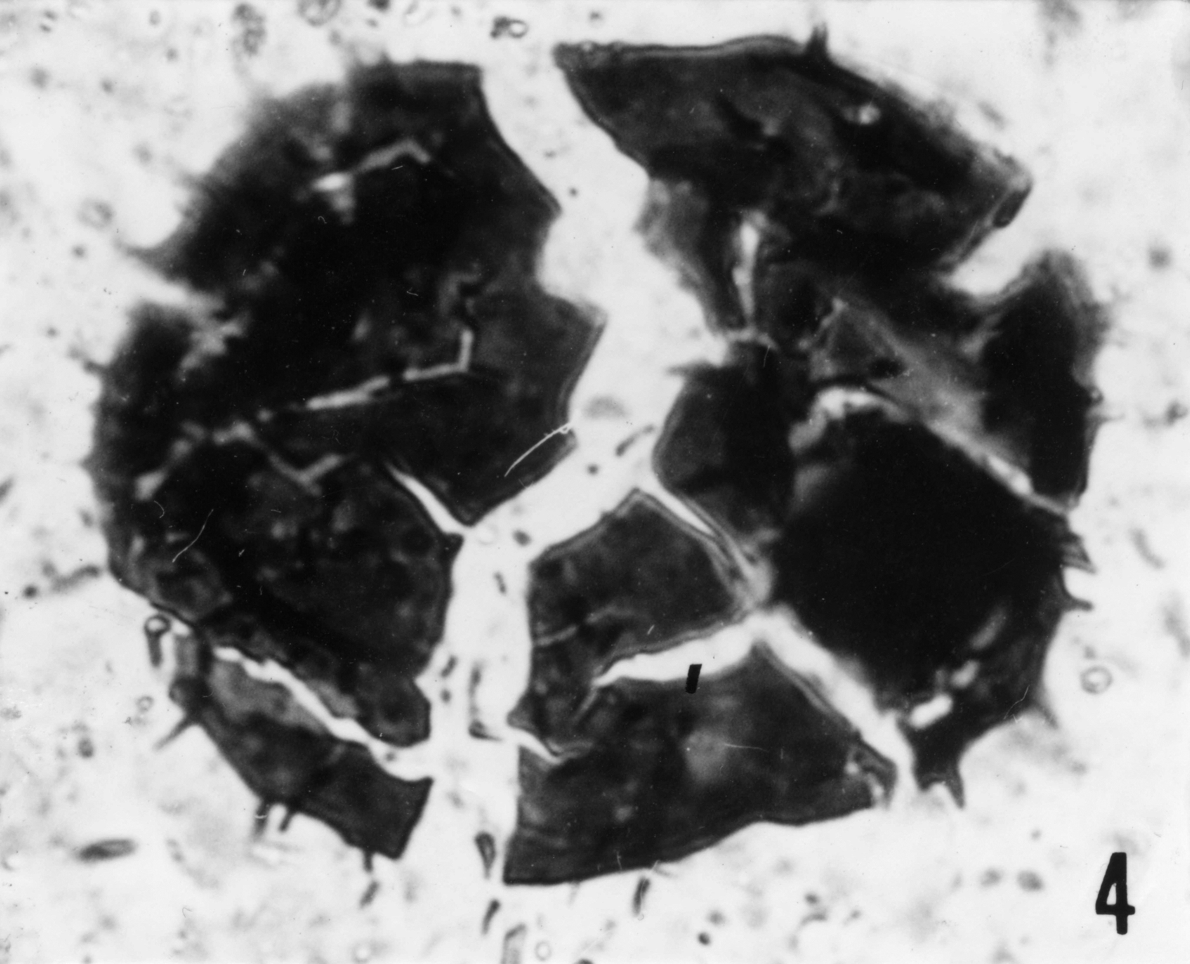 Fig. 4 - Acanthodiacrodium sp. fissuré en éléments de mosaïque. Lame mince. La Roquemaillère : ROQ-2. b 438.