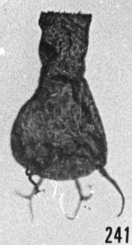 Fig. 241 - Ancyrochitina ancyrea (Eisenack); lumière transmise et réfléchie. -185,00 m. b 348.