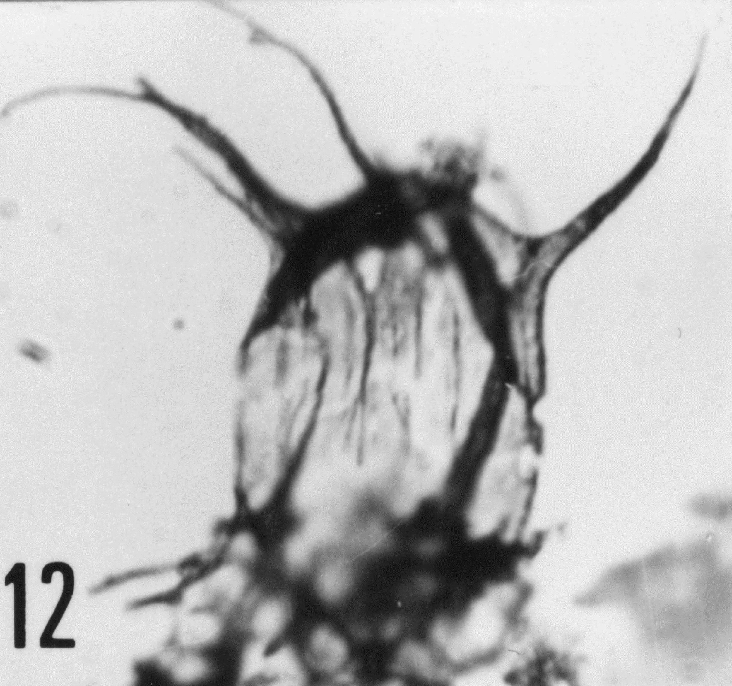 Fig. 12 - Arbusculidium filamentosum (Vavrdovâ, M., 1965) Vavrdovâ, M., 1972. VIL-3. I. R. Se. N. B. N° b516.