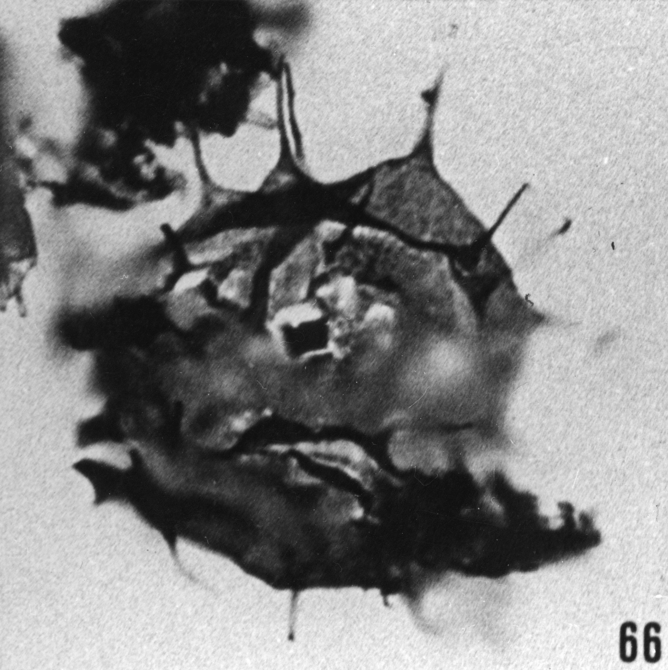 Fig. 66 - Baltisphaeridium coutissianum Martin. —169,00 m. b401.