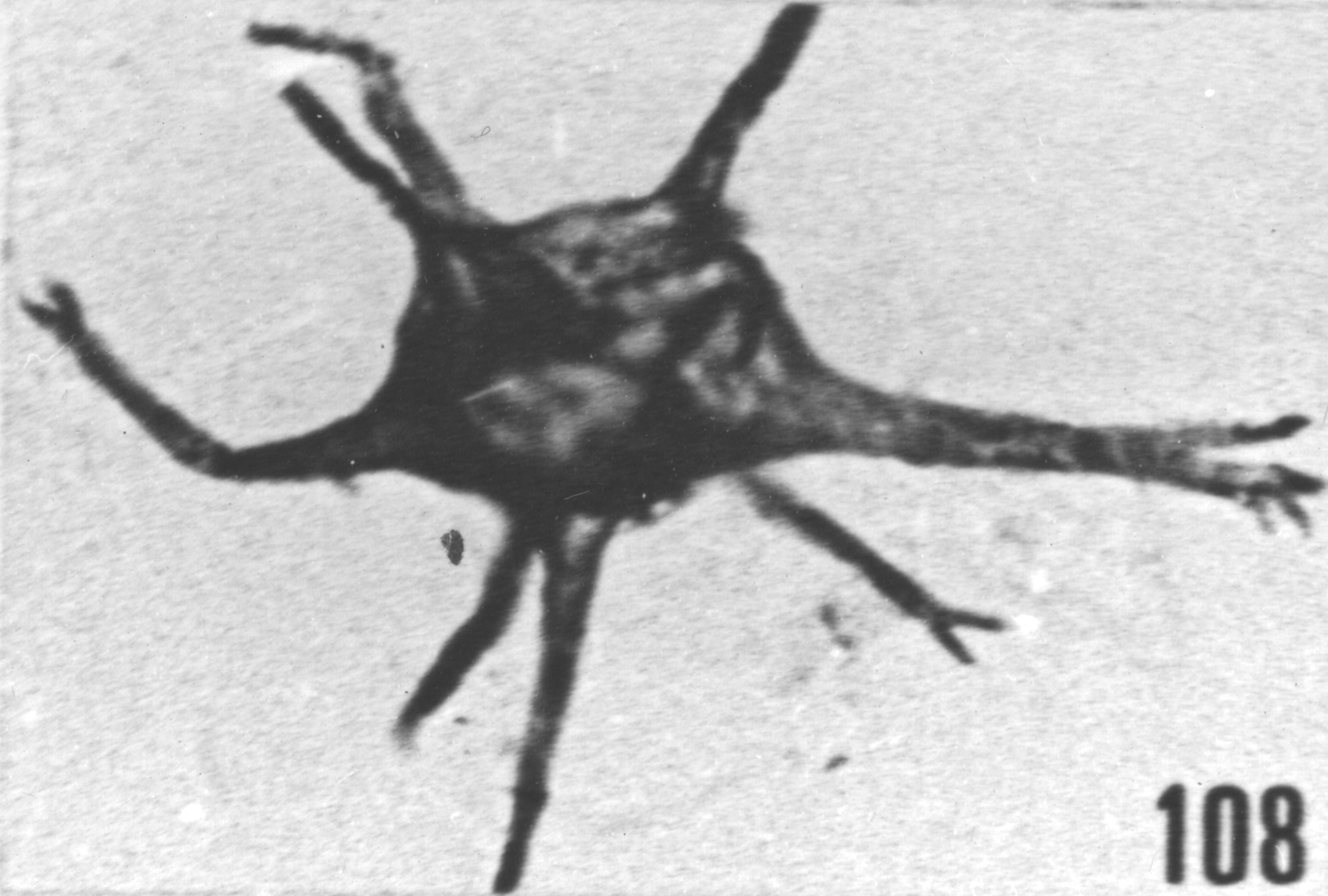 Fig. 108 - Baltisphaeridium. ? denticulatum Stockmans et Willière. -154,50 m. b 360.