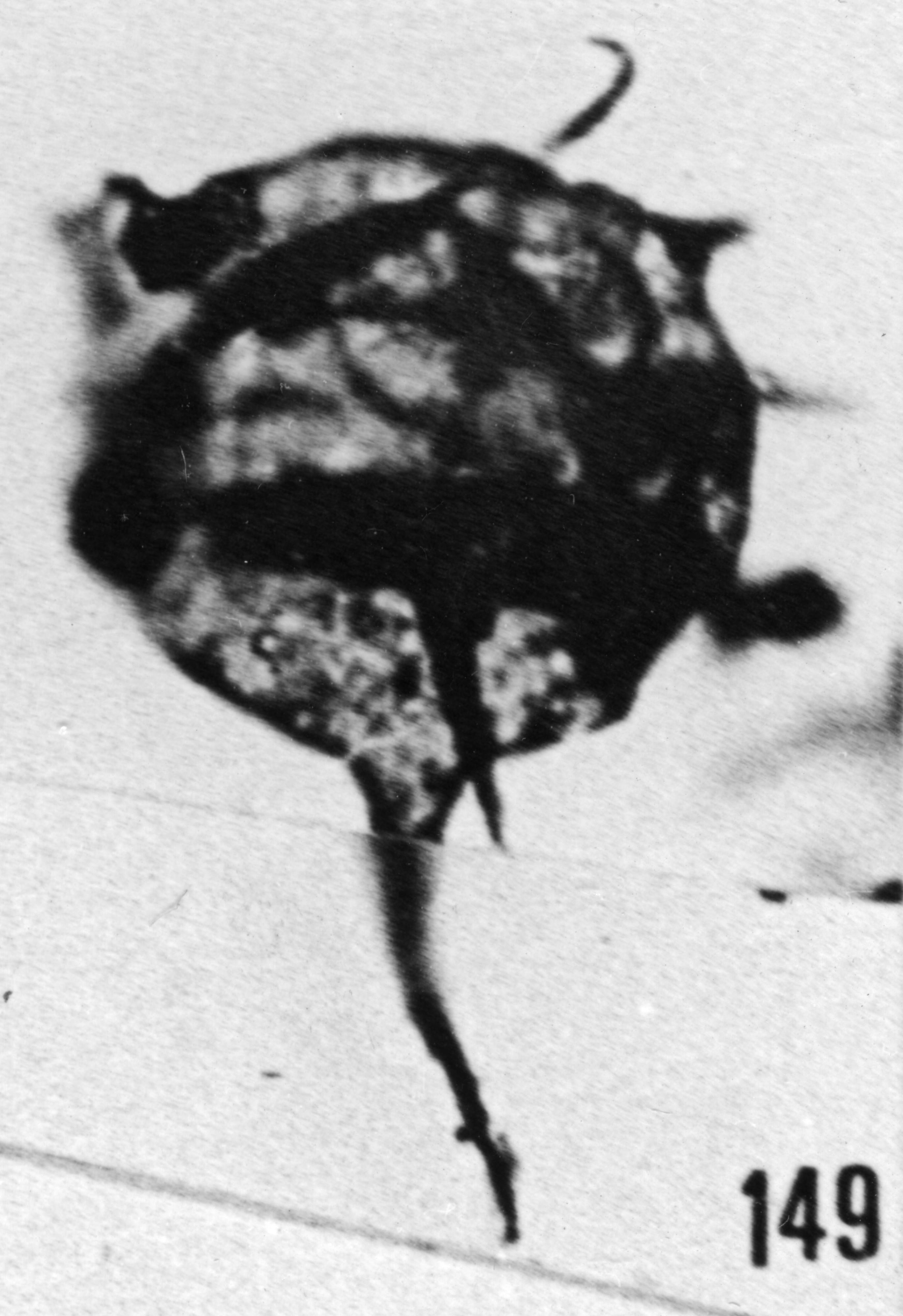 Fig. 149 - Baltisphaeridium longispinosum (Eisenack). —186,00 m. b 389.
