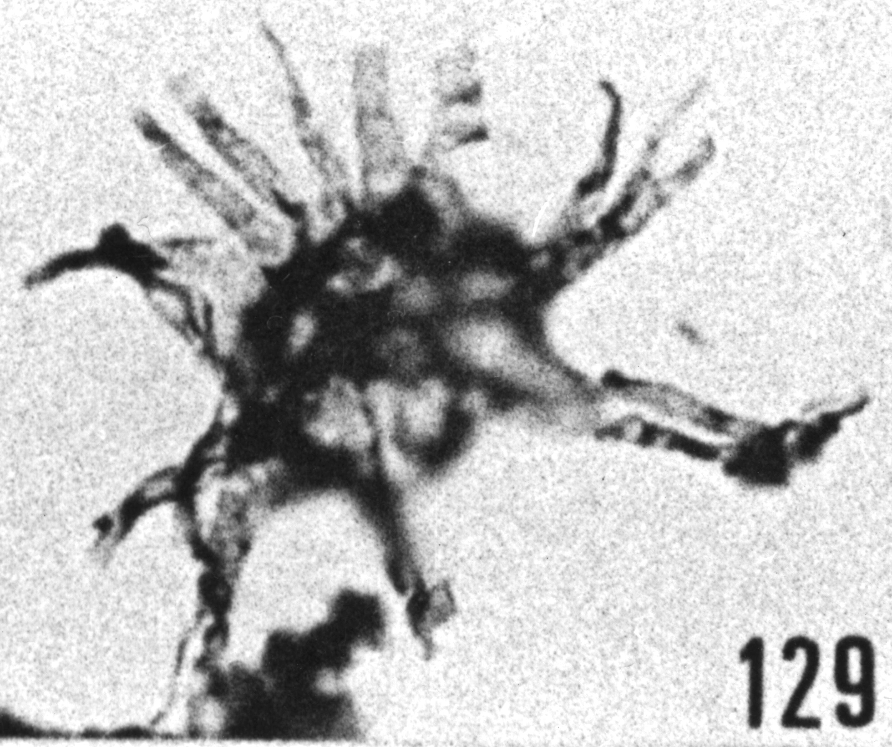 Fig. 129 - Baltisphaeridium lucidum Deunff. —183,00 m. b 384