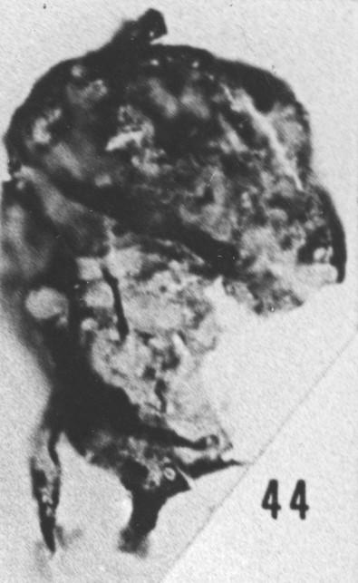 Fig. 44 - Baltisphaeridium macroceros (Deunff). —175,50 m. b 420.