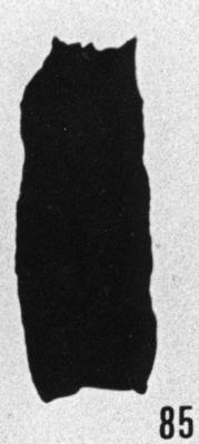Fig. 85 - Cyatochitina fusiformis Bouché. —175,50 m. b 414.