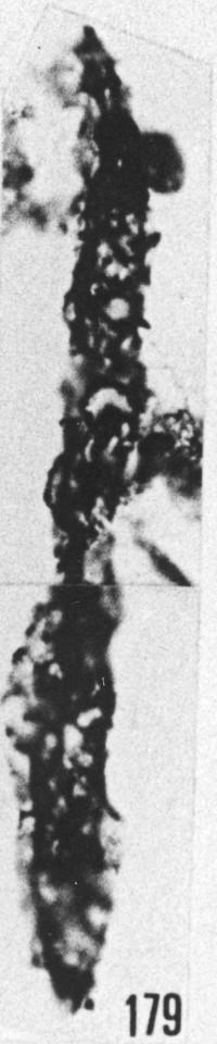 Fig. 179 - Dactylofusa aff. marahensis Brito et Santos. —154,50 m. b 359