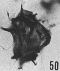 Fig. 50 - Dasydiacrodium fantasium nov. sp.; holotype. —154,00 m. b 395