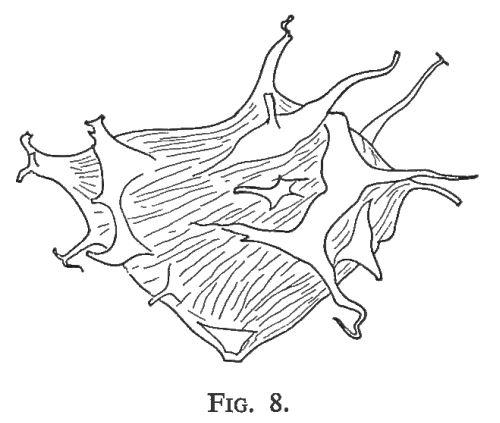 Texte-fig. 8 - Dasydiacrodium fantasium nov. sp