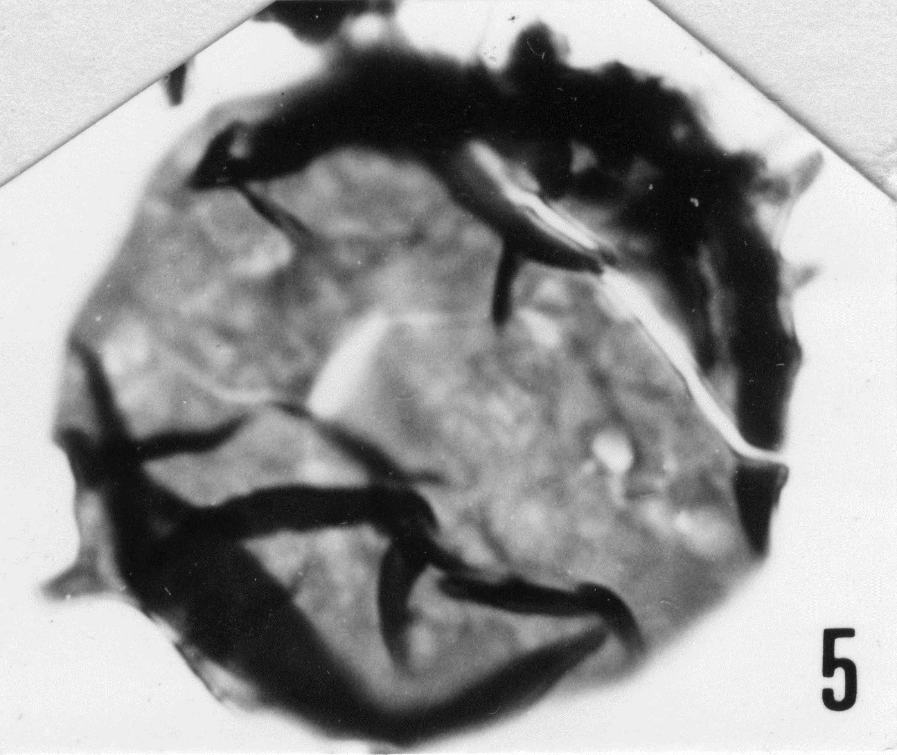 Fig. 5 - Dasydiacrodium ? sp. I. Mas de Mougno : MOU-1. b 464.