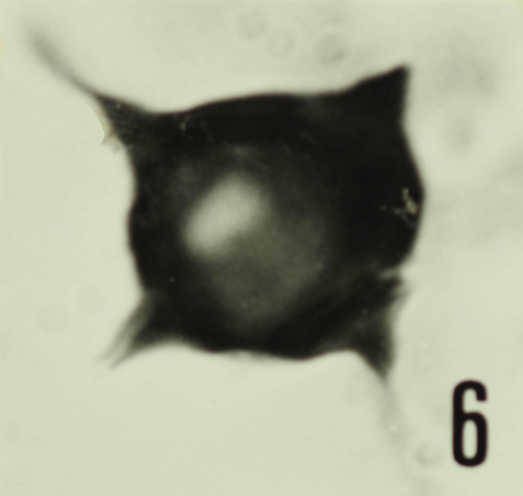 Fig. 6 - Impluviculus miloni (Deunff, J., 1968) Loeblich, A. R. et Tappan, H., 1969. Sainte-Cécile : STC-2. b 459.