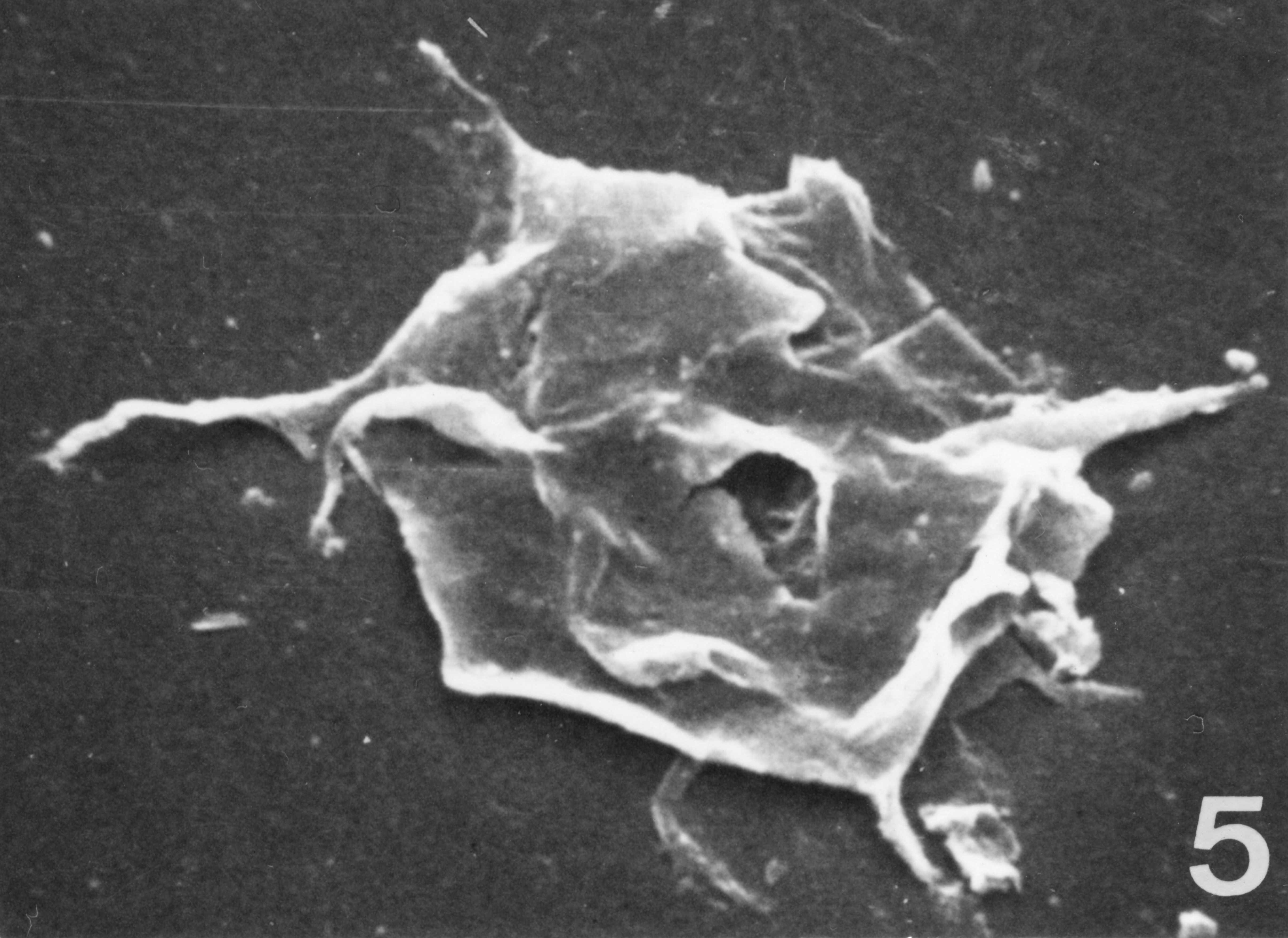 Fig. 5 - lmpluviculus ? sp. CHE-31. I. R. Se. N. B. N° b533.