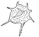 Fig. 8 - Impluviculus stellaris n. sp. Paratype X 1 000. 1. R. Sc. N. B. N° b501