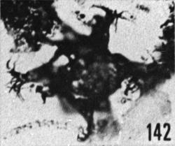 Fig. 142 - Multiplicisphaeridium aff. corallinum (Eisenack). —154,50 m. b 365.