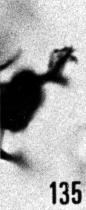 Fig. 135 - Peteinosphaeridium nudum (Eisenack); détail d'un appendice. -174,00 m. b 378.