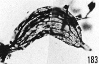 Fig. 183 - Poikilofusa aff. spinata Staplin, Jansonius et Pocock; spécimen peu incurvé au niveau de la zone équatoriale. —186,00 m. b 390.