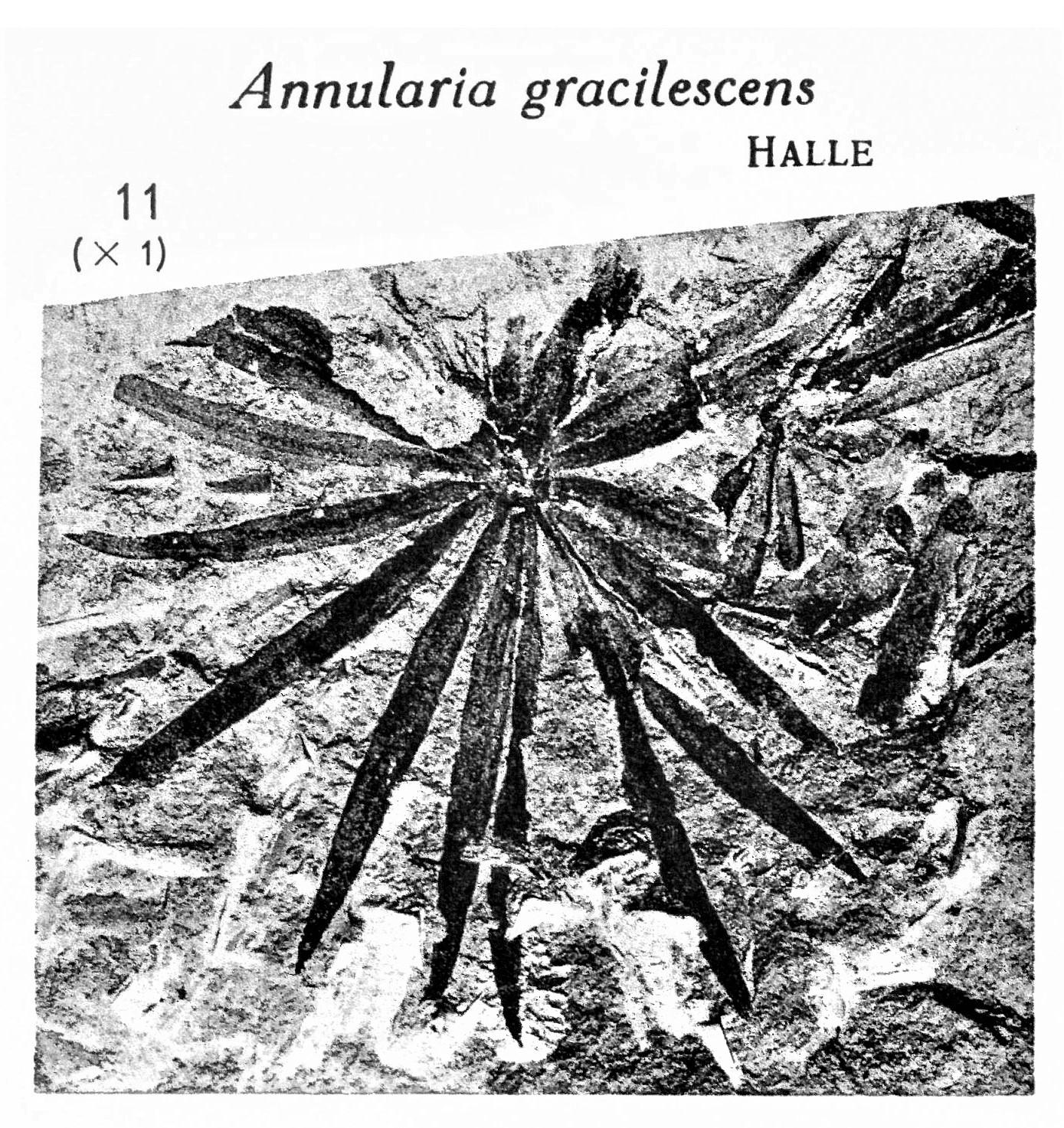 Pl. XV ; Fig 11