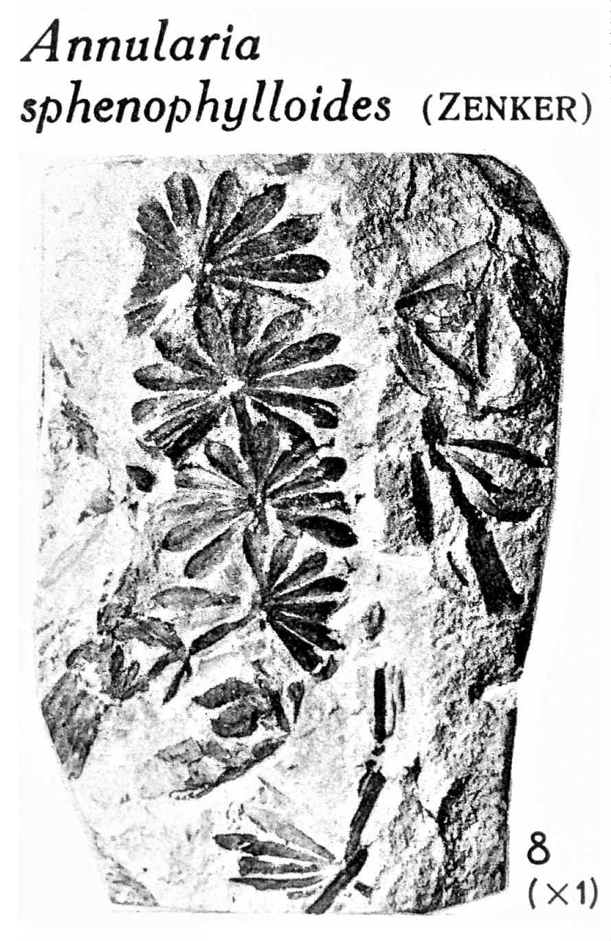 Pl. XV ; Fig 8