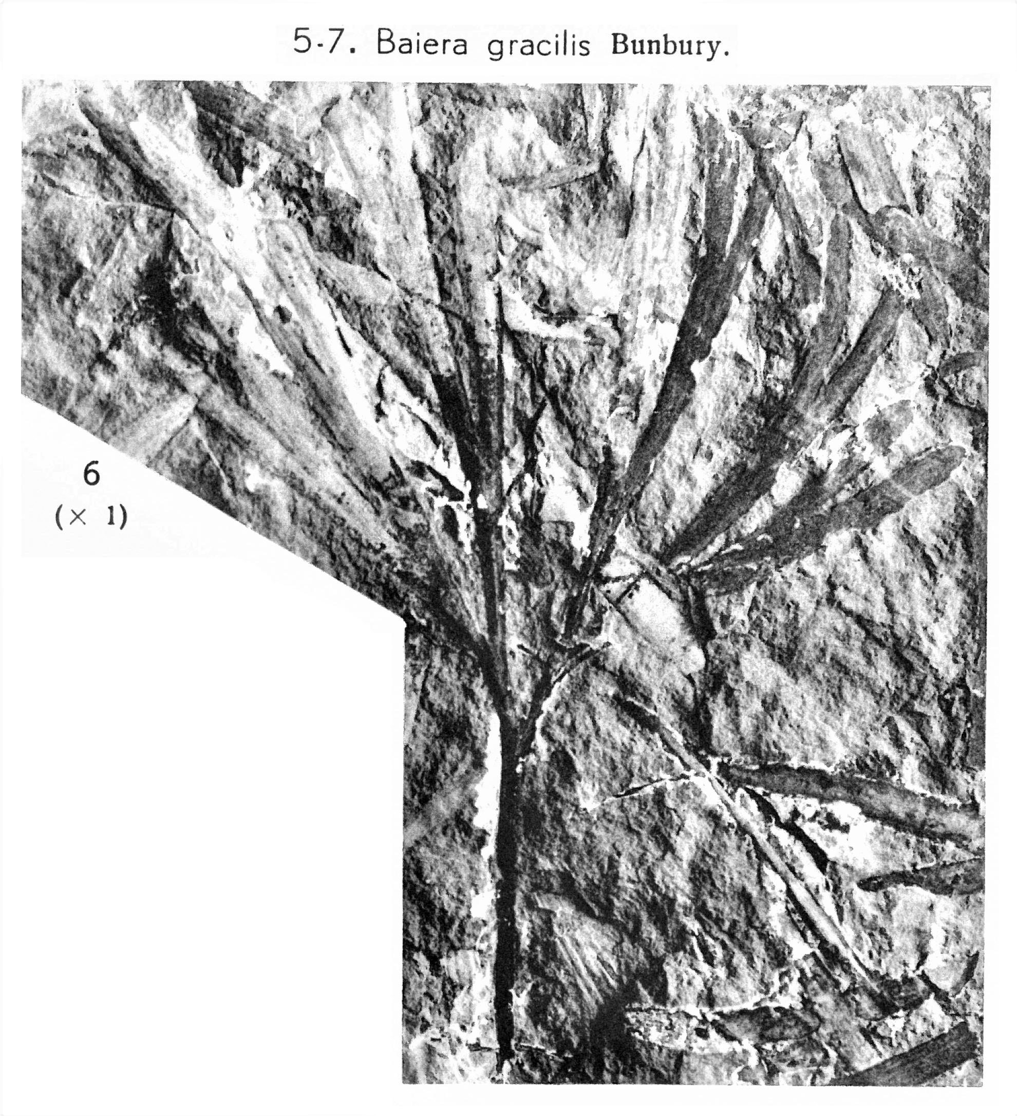 Pl. VI ; Fig 6