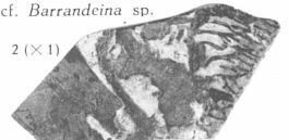 Fig. 2 - Ramification indéterminée (cf. Barrandeina sp.) Grandeur naturelle.