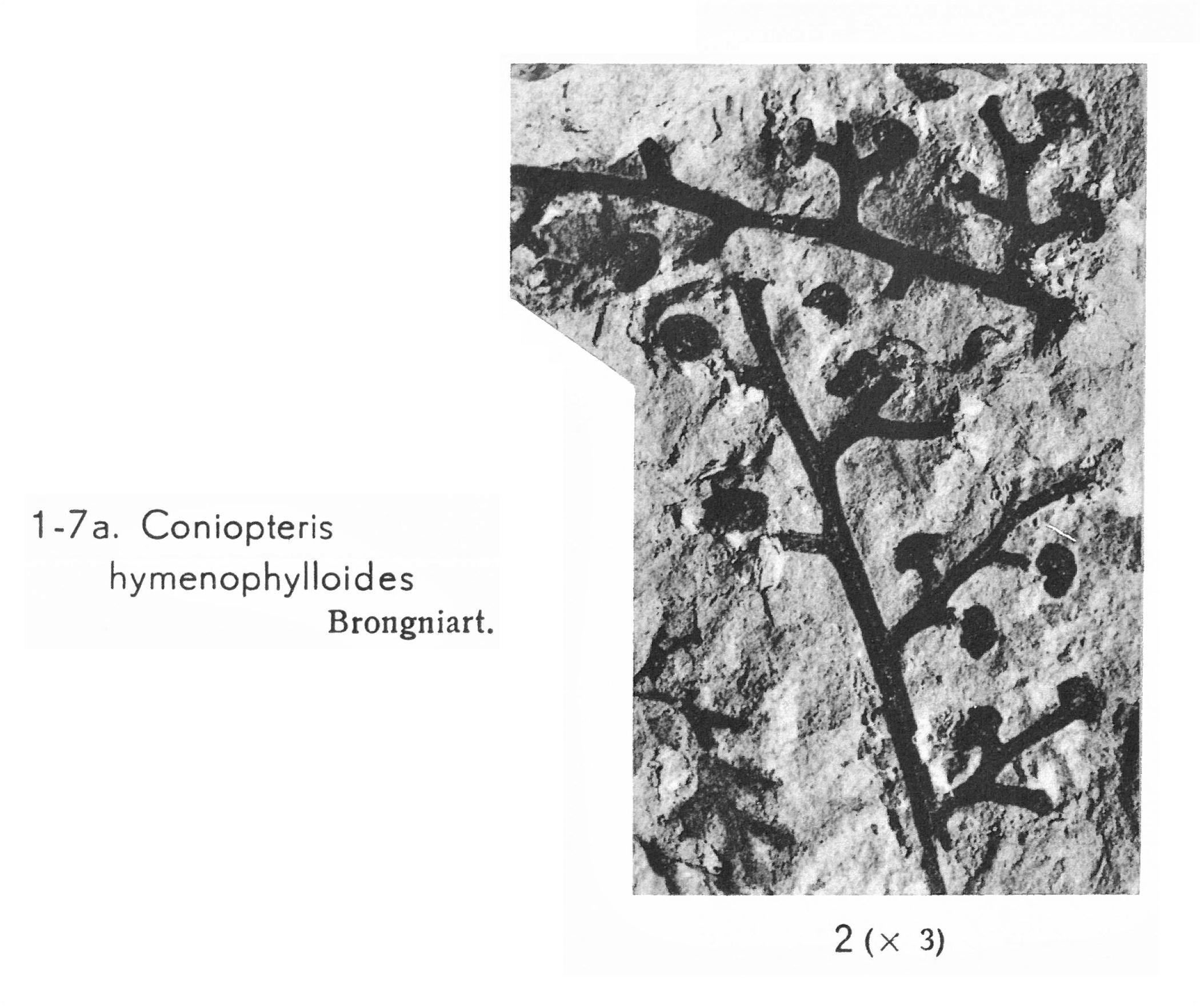 Pl. I ; Fig 2
