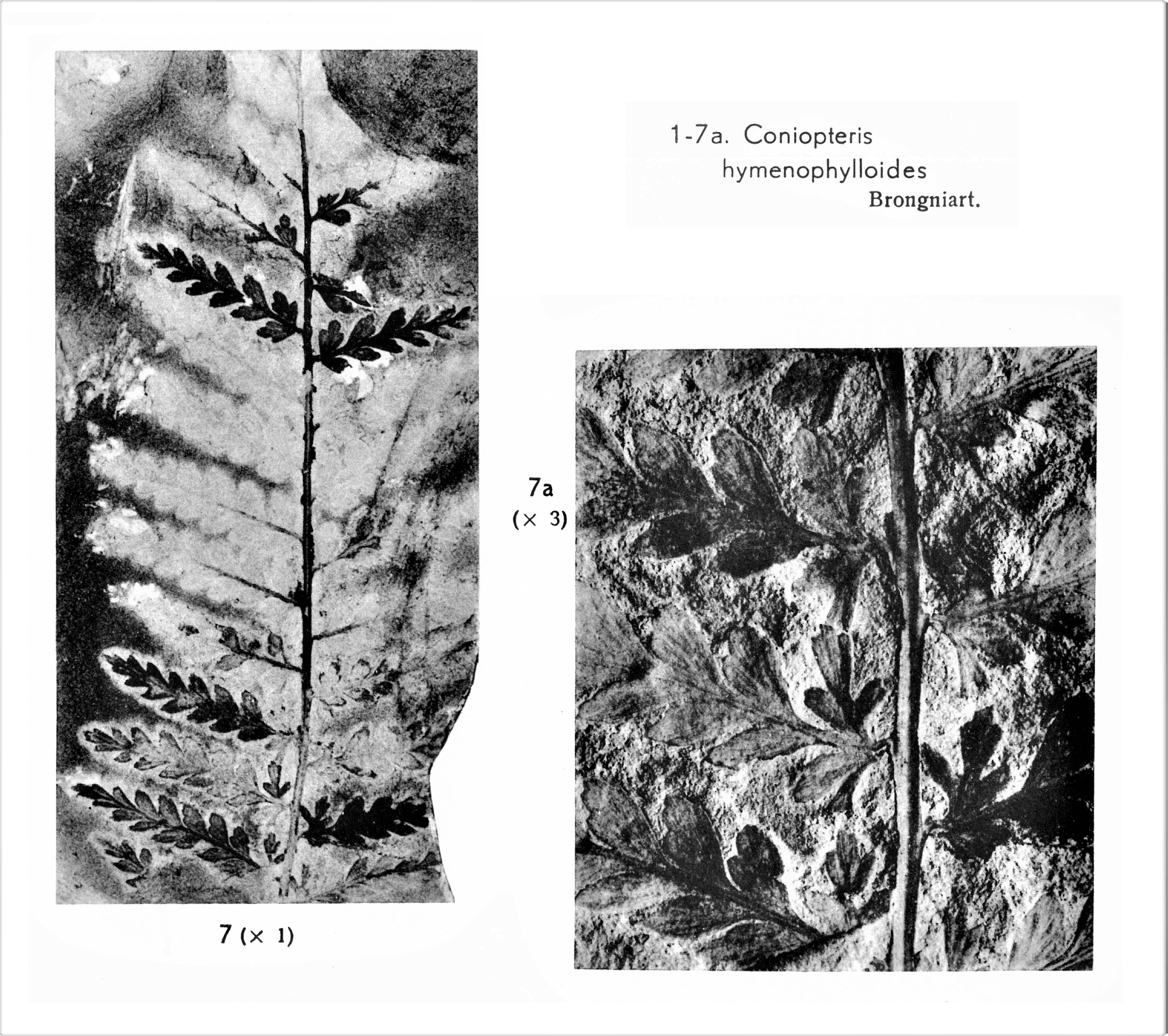 Pl. I ; Fig 7, 7a