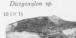 Fig. 10 - Dictyoxylon sp. Grandeur naturelle