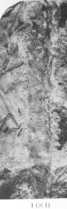 Fig. 1 - Drepanophycus spinosus (Krejci). Grandeur naturelle