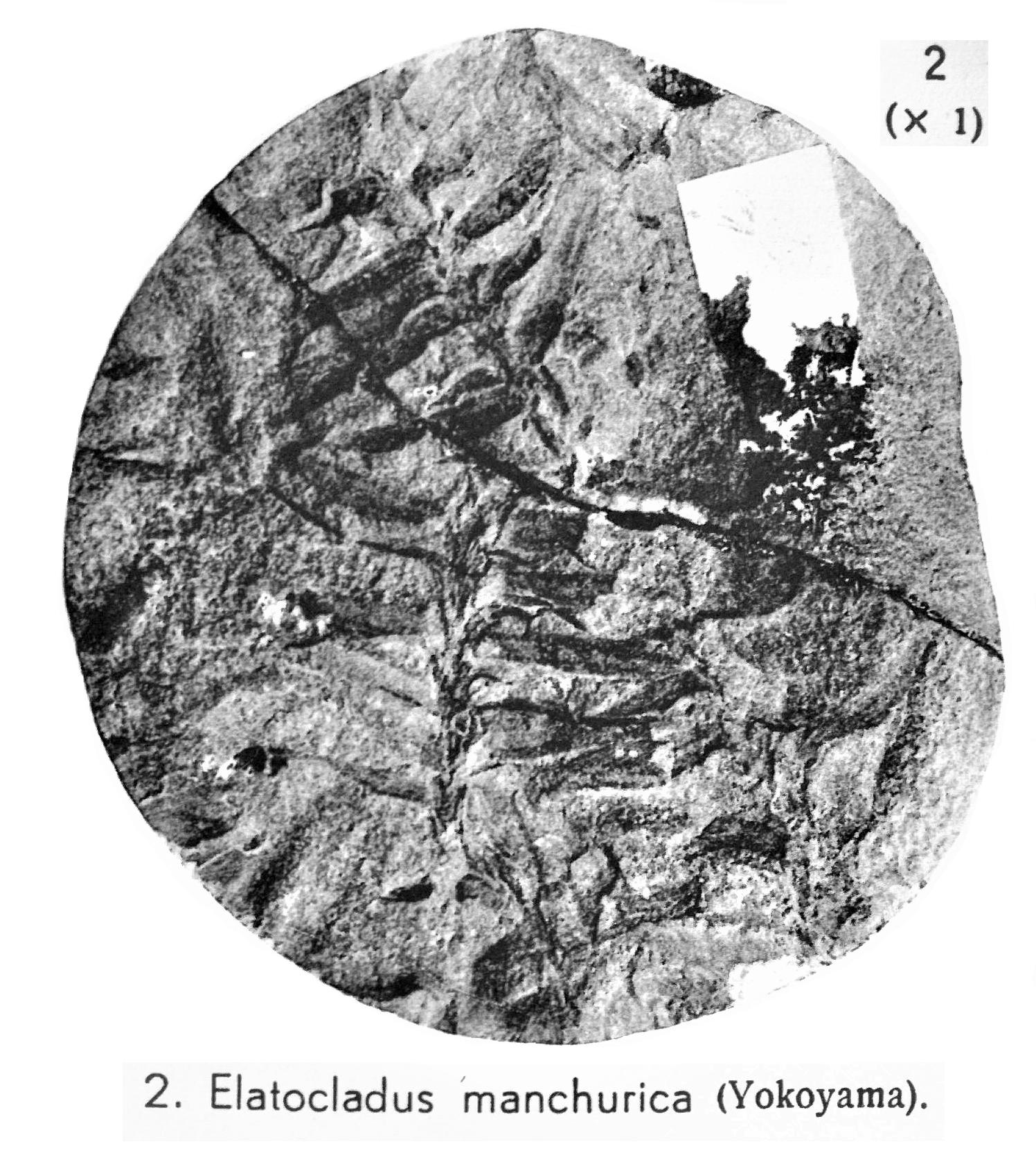 Pl. VII ; Fig 2