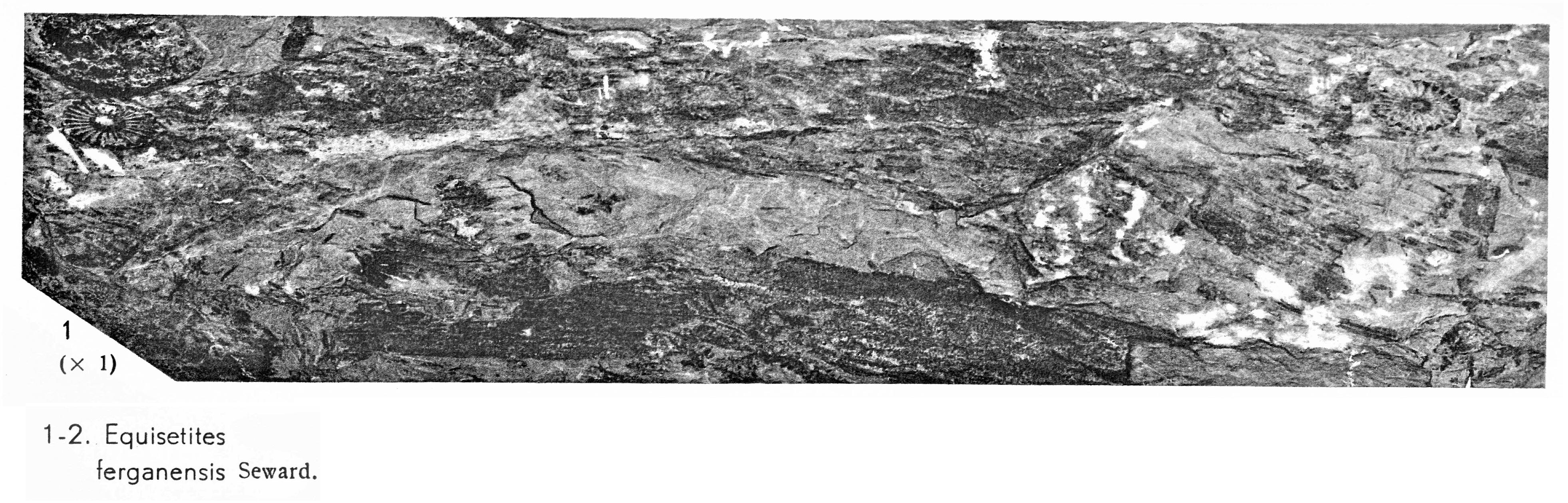 Pl. IV ; Fig 1